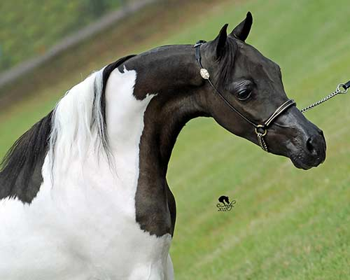 http://lilachillstables.com/mares_files/Rhapsodys-Simply-Stunning2-sm.jpg